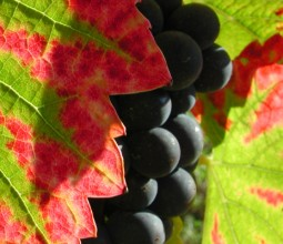 Ingenium Loci Wines
